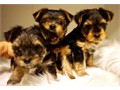 I need to rehome these YORKIES due to our baby being allergic and would rather not have to send them