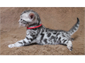 BROWN  SNOW BENGAL BABIES AVAILABLE  SGC SIRE  1 SILVER SEAL LYNX MALE -  1 SEAL LYNX MALE - 1