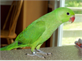 Talking Indian Ringneck Parrot baby 3 Months Old Hand Fed Hand Tame Very Friendly That Not Bite
