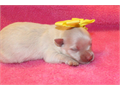 Pomeranian Puppies  800 each Cream-white 4 Girls   200 deposit will hold your choice until they c