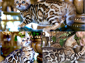 Asian Leopard Bengal Kitten Cubs Available pets starting at 1250 to 2400 pet price pick a kitten