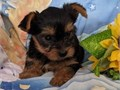 Yorkie puppies available now  text if interested
