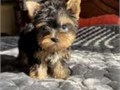 Excellent YorkieExcellent Yorkie Puppies Available Home raised Yorkshire Terrier puppies for re