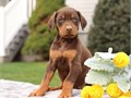 fgmndvmg  Doberman  puppies For Adoption CALLTEXT 2134197515  for more info and pics