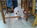 West Highland White Terrier puppies for sale These beautiful puppies are family raised and are ve