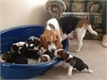 healthy male and female Beagle puppies available for new loving home they are 10 weeks old well soci