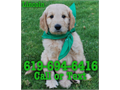 Goldendoodle Puppies available We have an absolutely Gorgeous litter of F1 Goldendoodles available