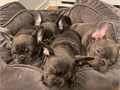 hello i have french bulldog puppies am willing to rehome please contact me for m