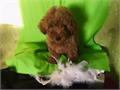 Exclusive  one of a kind Dark Red Color Maltipoo 1 male and 1 female Call for a video  up to date