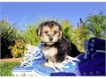 Sammy is a Spectacular male Morkie He is very Talented and will leave you in Awe Sammy has his cur