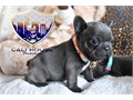 We have gorgeous Blue French BulldogEuropean puppies blood lines 3 Males 2 females AKC registered