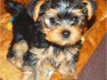 TINY YORKIES FOR SALE T CUPS AND TINY TOYS YORKIES PUPPIES GUARANTEE YOU WILL FALL IN LOVE they are
