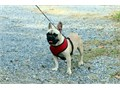 Maddie is 3yrs old she is kid and dog friendly she is looking for a pet home  She is registered and
