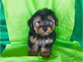 TOY YORKIE POOS PUPPIES FOR SALE NOT SHEDDING ABSOLUTELY CUTE CUTE FACES YOU WILL FALL IN LOVE SH