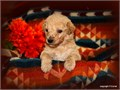 AKC Reg Standard Poodle Pups- Apricots Creams Blacks Both parents are genetic tested by Paw Print