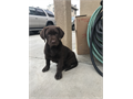 AKC Labrador Retriever Puppies2 male Chocolate 1 Chocolate female 1 yellow red fox Female an 4