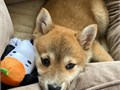 Shiba inu puppies These little foxes are absolutely adorable They are smart swe