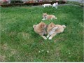 Litter of shiba inu puppies available for good home  they are in perfect health condition  317-207