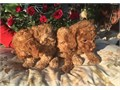 Mini Poodles for sale Purebred  1st shots done  They do not shed they are highly intelligent