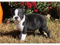 Cute BoyGirls  10weeks old  vaccinated and come papers interested Textcall 510 296-5061