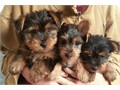 Hi I have a male and female yorkies available for new homesmy email for more info