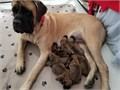 Purebred English Mastiff Puppies born 822021 Ready for their new home on 92721 Can pick up Sep