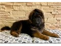 we have lovely and adorable german shepherd puppies mum is brave and dad is very loyalpuppies are