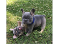 Hello we have adorable French bulldog puppies available for their favorite homes contact for more in
