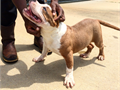 American Bully Pups 6mos UKC registered UTD Shots Ears Cropped 3f 1m 3xDax dam 4xRemy sire strong
