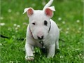 AKC Bullterier PupAmazing Bull-terrier puppies Akc registration with full