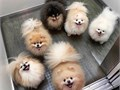 Rehoming friendly Pomeranian puppies both male and femalefor more infos text 626 608-2289