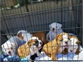 English bulldog  puppies ready to leave today