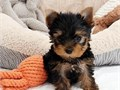 Charming Teacup Yorkie Puppies For Re-homing We have male and female Yorkie puppies available They
