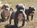 I have 4 amazing healthy pure bree puppies they are stron smart and 7 weeks old they will have there