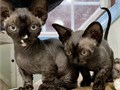 Beautiful sphynx Kittens for adoption with good health they are 8weeks old they enjoy being around
