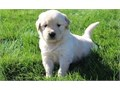 Hearty Golden retriever puppies availableThese puppies akc registered  vet che