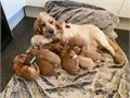 Our gorgeous girl Molly has nine outstanding puppies with 5 girls and 4 boysShe is a fabulous mum