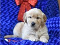 Purebred Golden retriever puppies for saleThe are gorgeous large and energetic breed They are