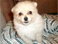 Purebred teacup Pomeranian puppies Great dispositions family raised and adored Health and tempera