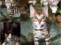 Purebred Show Bengals Lynx Point Snows and Silvers and Gorgeous Brown Rosetted Bengal Kittens tica