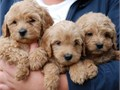 lvly labradoodle puppies for adoptionwe are giving them out for adoption to lovely and caring homes