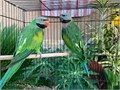 Pair of Mustache Parrots for 1600 For Serious Inquiries Call or Text 562-318-8585 No Emails Plea