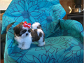 11 weeks old Tri-color Shih Tzu PUPPY male   small size adorable healthy and intelligent2nd t