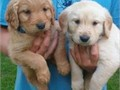 c 443-304-8284 These golden retriever puppies are so small and cute Their perfect triple coat is