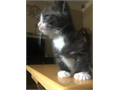 For sale male munchkin kitten His name is Willie Whiskers and he loves people Willie was born on