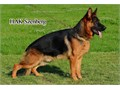 German Shepherd Imported   Stud Service  Macho para crusas imported 323893-2379 Tex Only please
