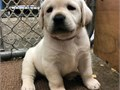 Beautiful Golden retriever puppy  litters puppies previous owners are very happy with their health