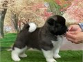 We so pleased to announce that our gorgeous Akita has self whelped 3 very healthy puppies  2 boys an