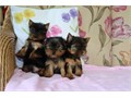 Email  kimdarrel0gmailcomText  Text Text 551 888 -3483Gorgeous Tiny Yorkie Puppies For
