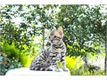 Gorgeous Bengal kittens TICA registered born June 11th Please visit us at wwwbengalmisiccatscom
